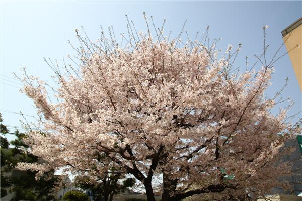 20110410_sakura.jpg